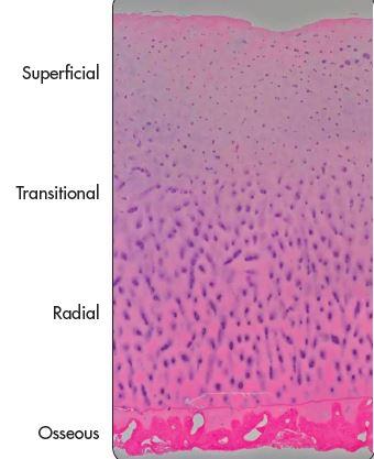 cartilage_layers.JPG