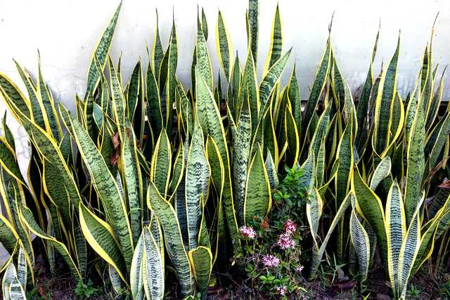 Snake Plant - Recommended for improving indoor air quality, it absorbs CO2 at night.