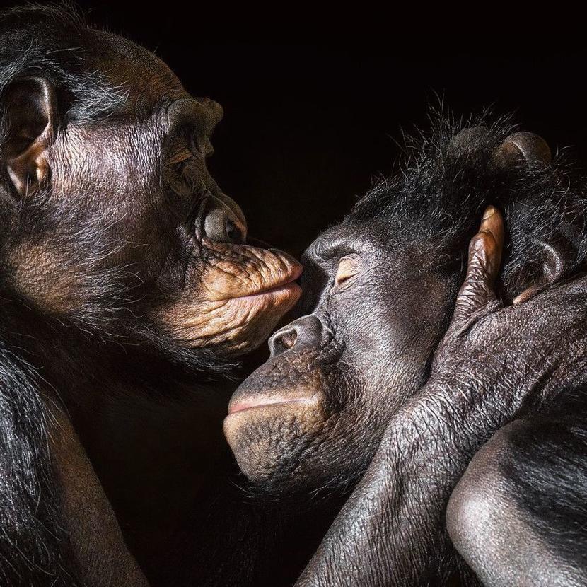 Шимпанзе, как люди, целуют друг друга после разлуки. Фото: Tim Flach. Источник: nrc.nl
