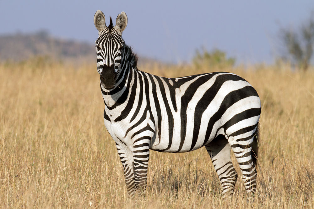 Eurek(zebr)a!