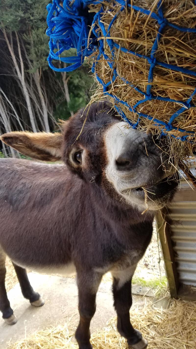 Hoti bobbing for hay
