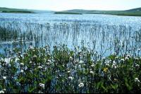 Bogbean growing in a loch.