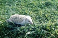 An Albino Hedgehog wanders through grass