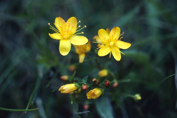 St.John's-wort flowers in close-up