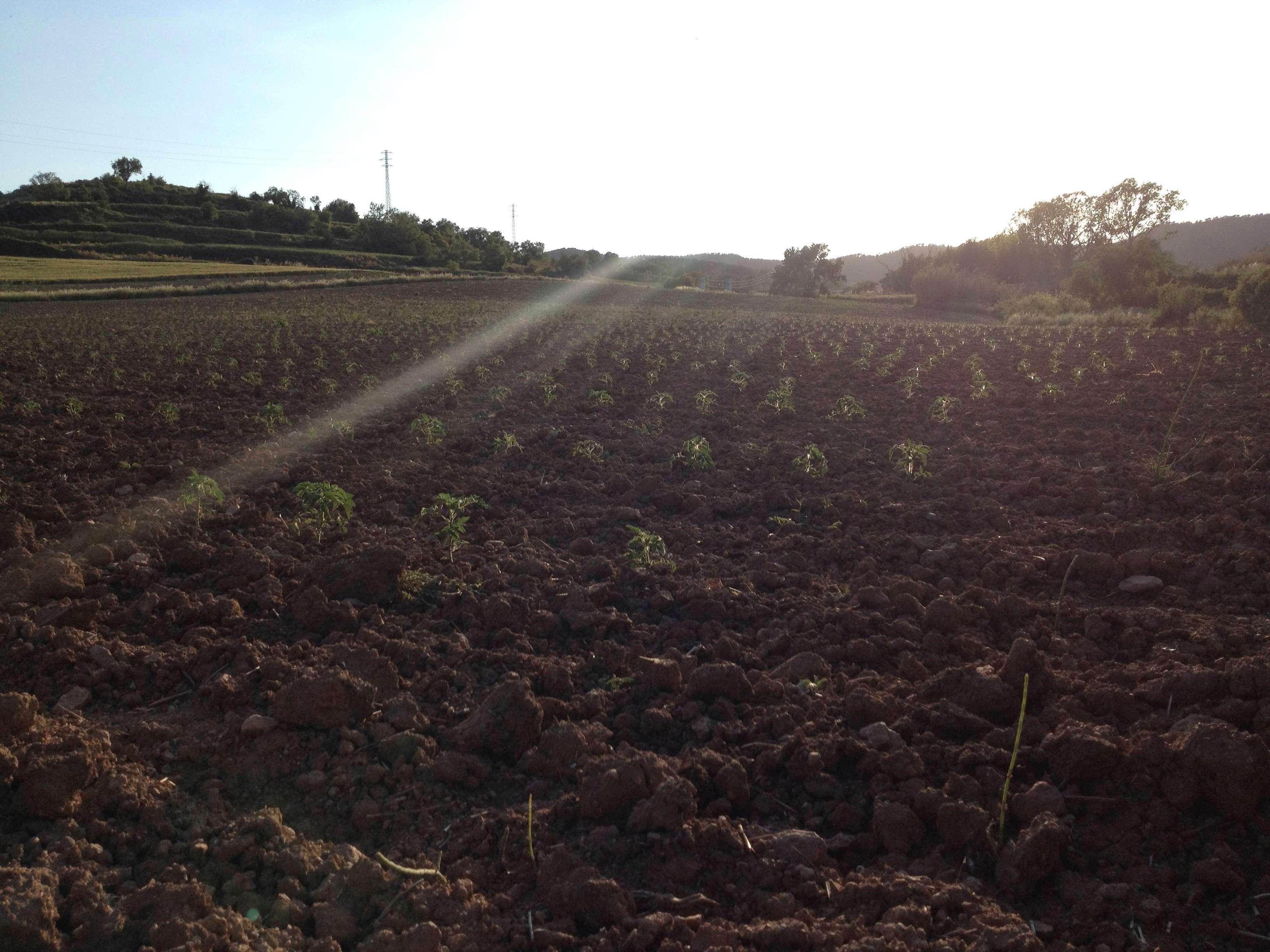 cultiu tomacons