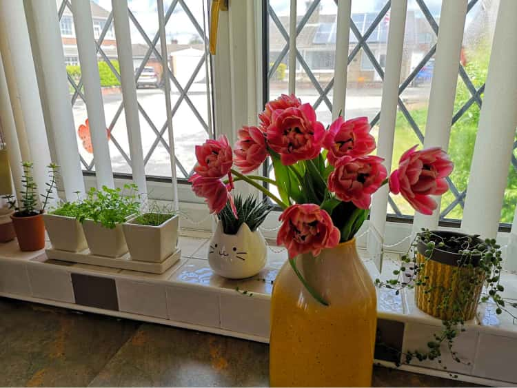 A series of succulents on our kitchen windowsill in the background with bright pink flowers in a tall yellow vase in the foreground.