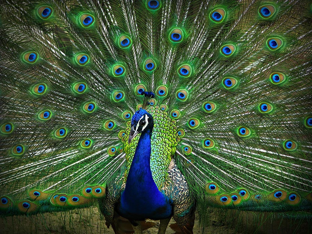Portrait of peacock dancing with its feathers open