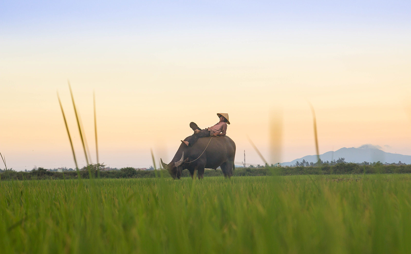 a man relaxing on the back of a water buffalo at sunset