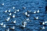 A flock of Herring Gulls at Lerwick Harbour