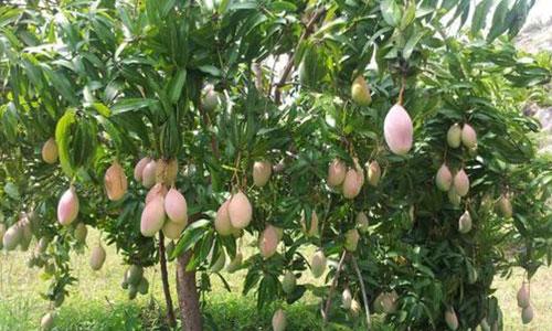 Totapuri tree