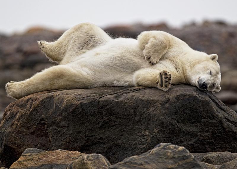 polar bear sleeping on a log