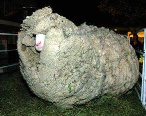 Unsheared Merino Sheep