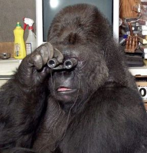 Gorilla using binoculars