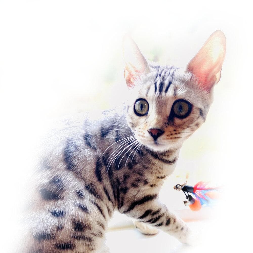 Majestic silver spotted bengal kitten