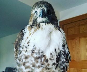 Sarah's Hawk, Ella