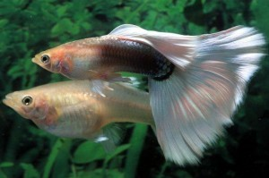 Fresh Water Guppy Care - 20 Tips To Keep Them Healthy