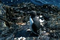 A lone Guillemot amongst the seaweed