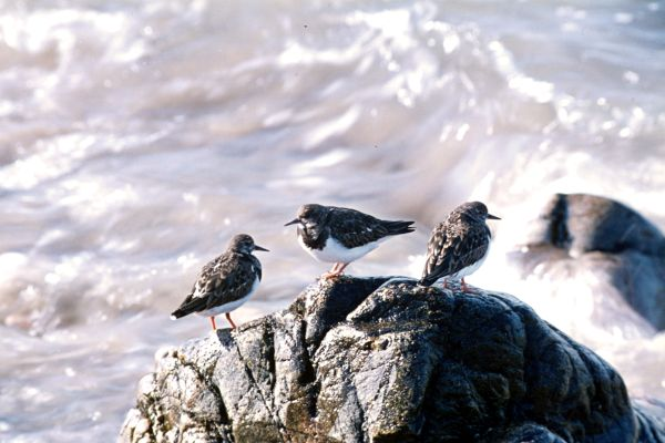 Three Turnstones stand on a rock