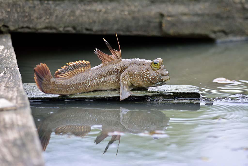 Mudskipper fish