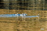 Four Long-tailed Ducks glide across a calm sea
