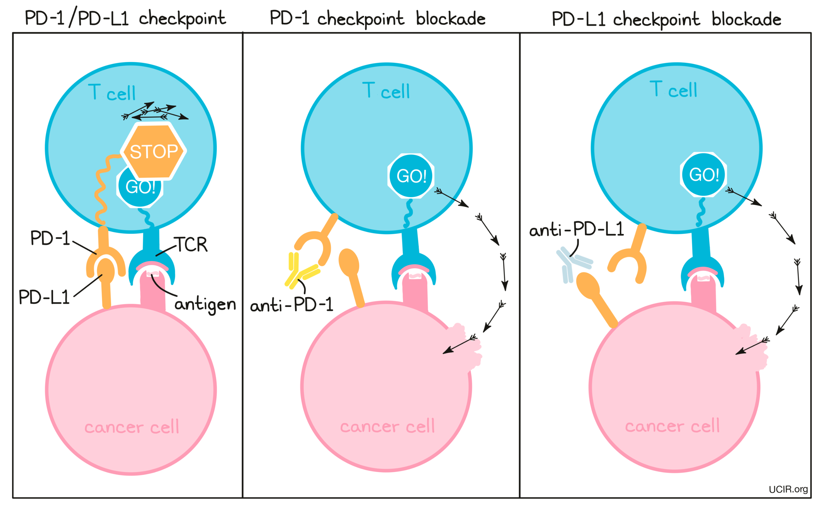 Illustration that shows the different between PD-1 and PD-L1 blockade