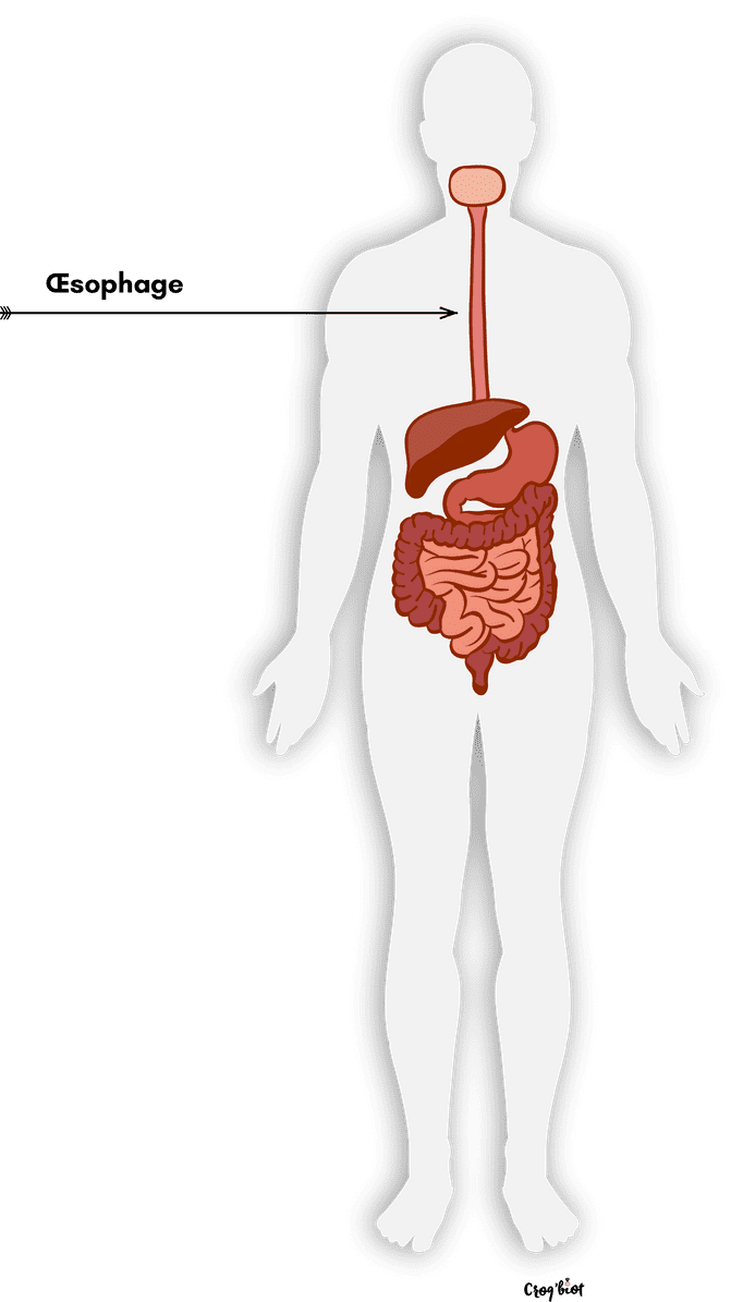 Digestion des aliments oesophage