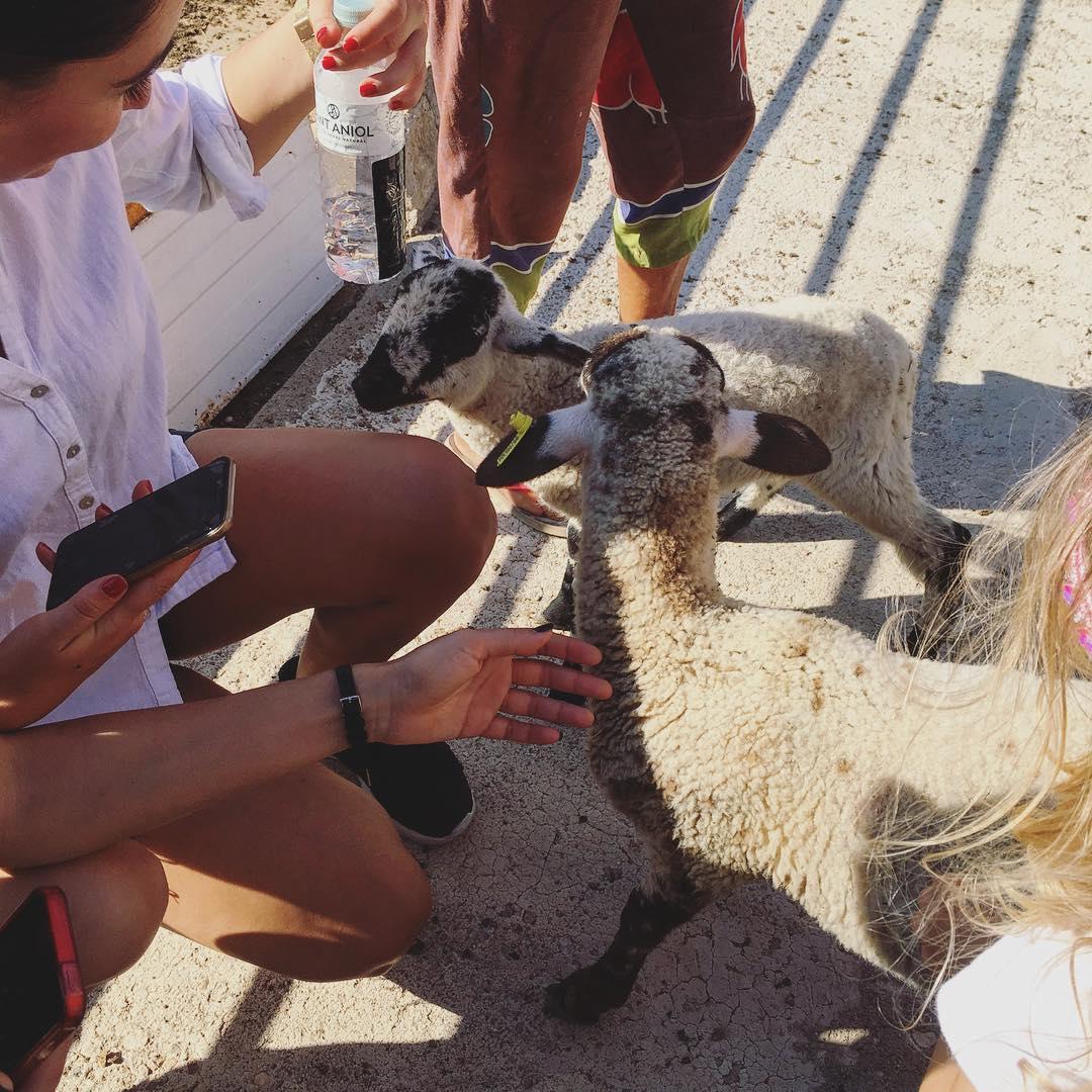 Photo of Ripollesa sheep