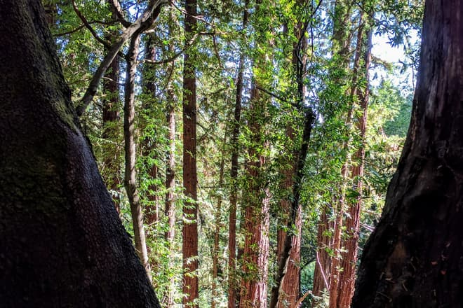 A redwood forest, seen through the narrow gap between two foreground trees.