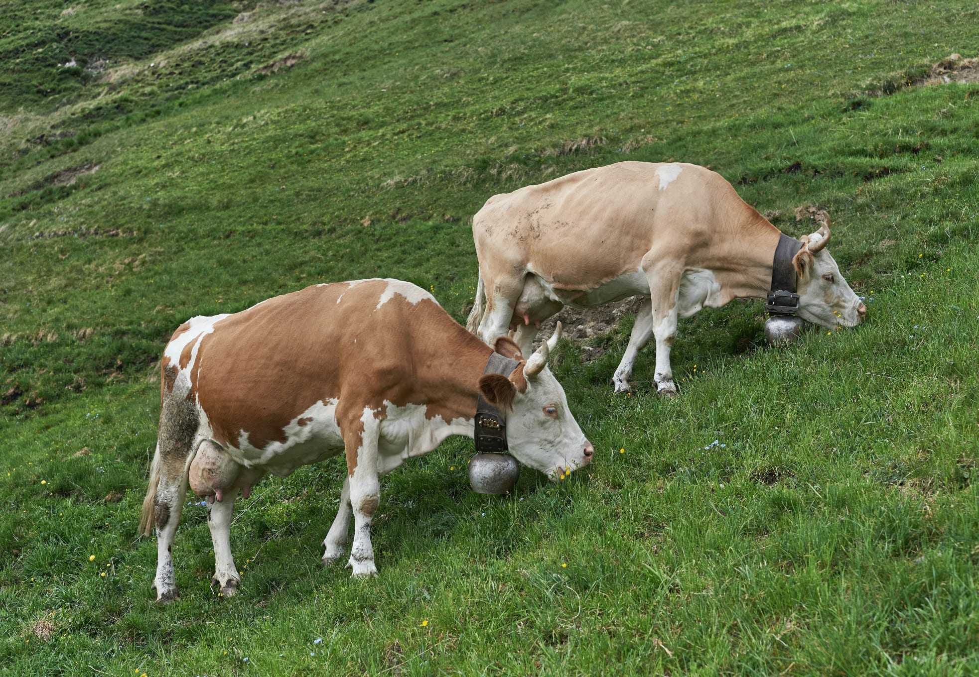 Cows grazing. In a turn away from cow milk, plant-based oat milk brand Oatly looks promising.