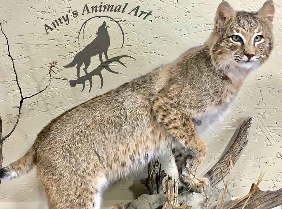 Amy's Perching Bobcat Taxidermy