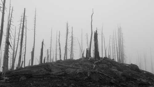 Dead trees in a fog near Three-fingered Jack Mountain