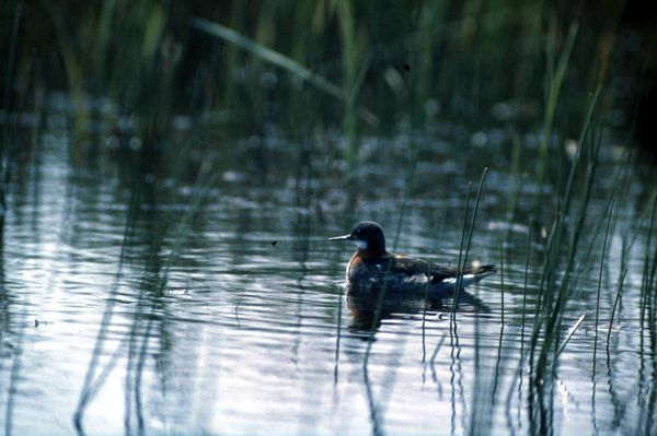 Red-necked Phalarope swimming on a loch