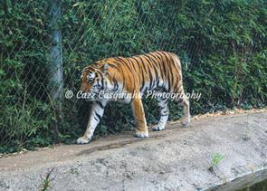 A photograph of a tiger walking at Marwell Zoo