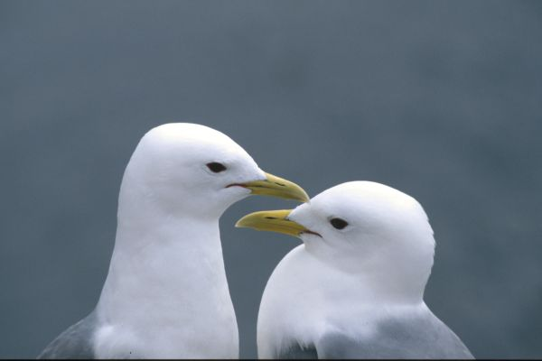 Two courting Kittiwakes