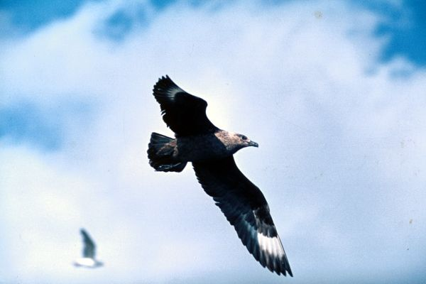 Great Skua flies across bright sky
