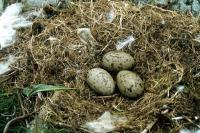 A nest of three Great Black-backed Gull eggs