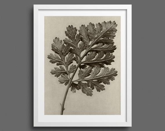 Feverfew Chrysanthemum - Plate 50