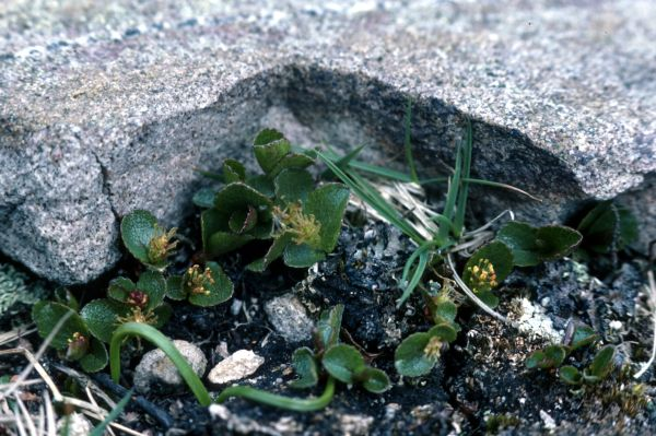 Dwarf Willow grows in the shelter of a stone