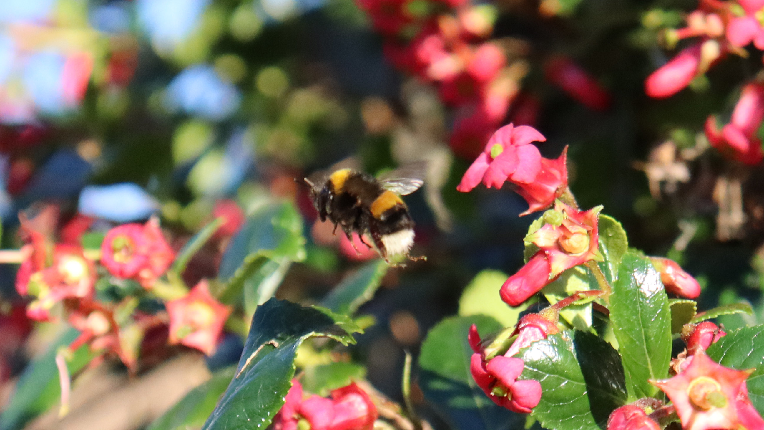 A bee flying away from a group of pink flowers.