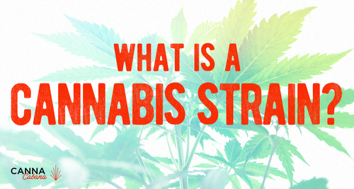 What Is A Cannabis Strain? Indica vs Sativa & Beyond