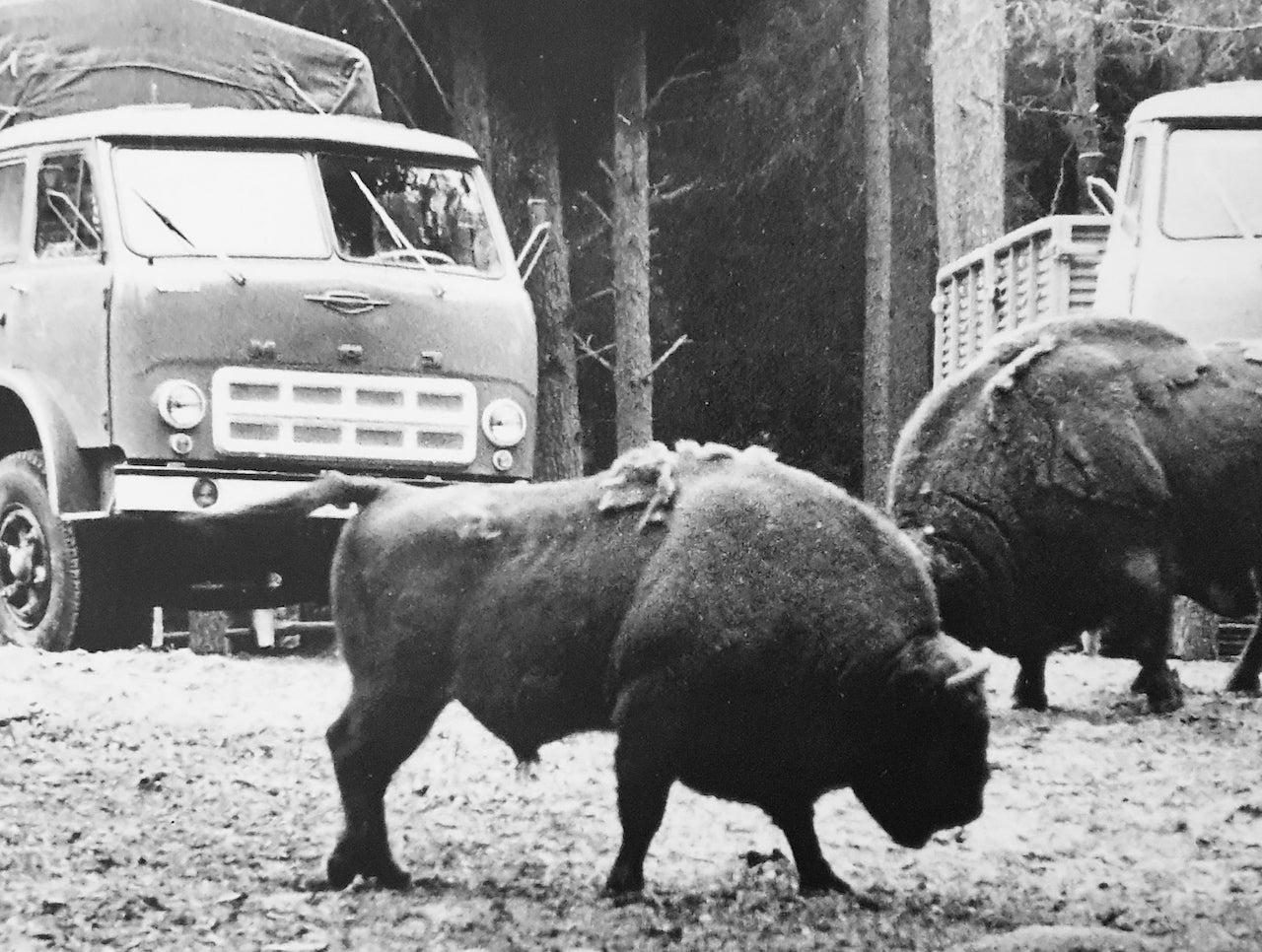 Restoration of bison in Belovezhskaya Pushcha. Photo from the exposition of the Museum of Belovezhskaya Pushcha. 1950s