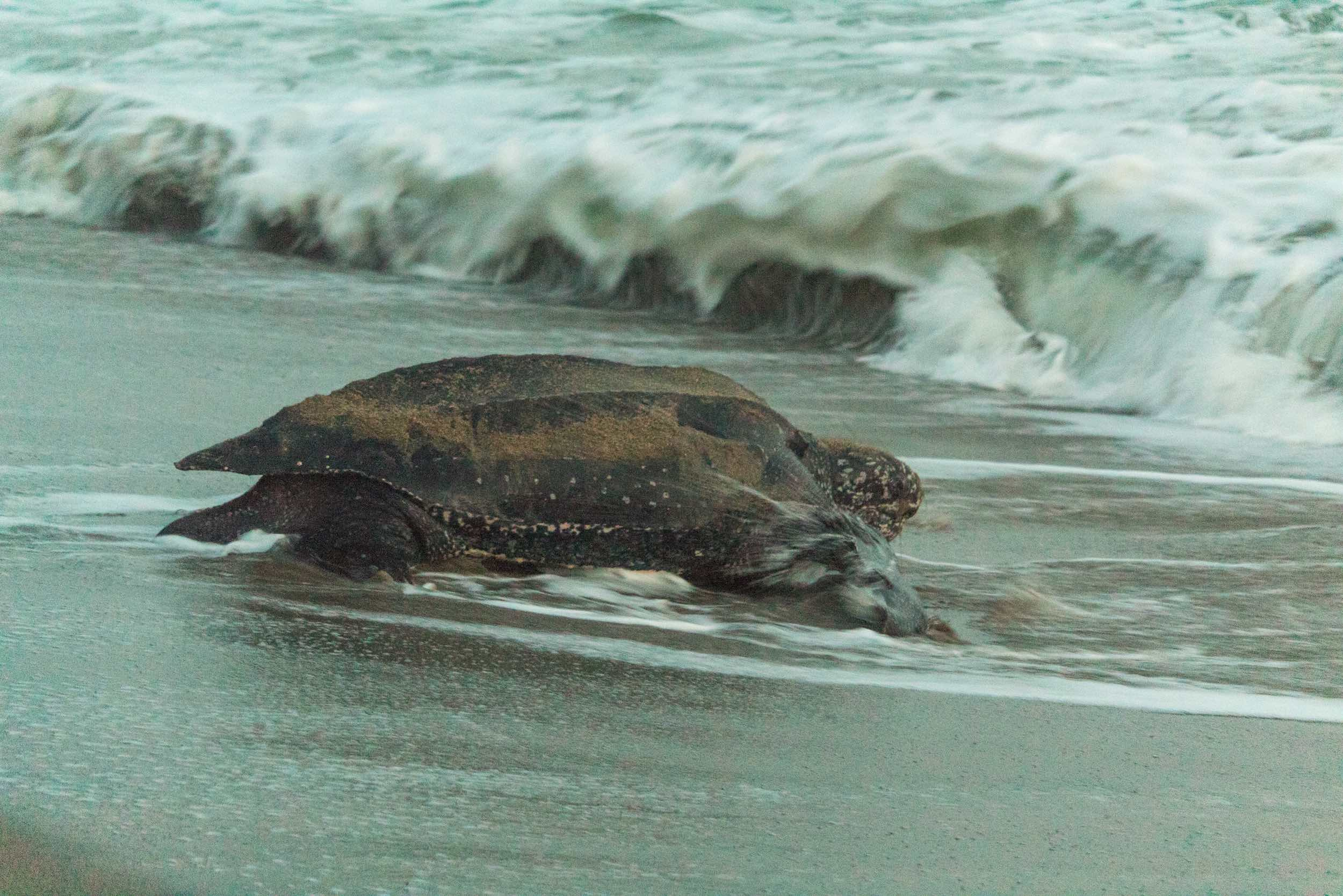 The Magnificent Leatherback Turtles