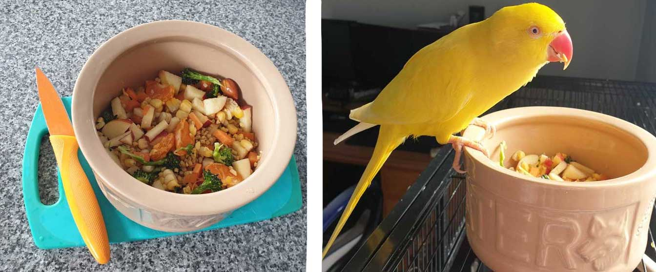 Yellow parrot enjoying the chop