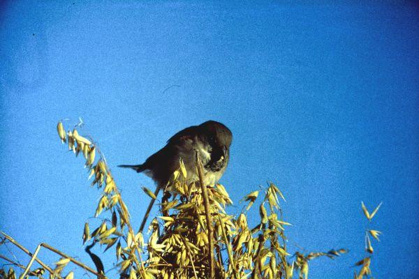 A House Sparrow on a stook of oats