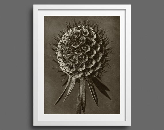 Scabious - Plate 91