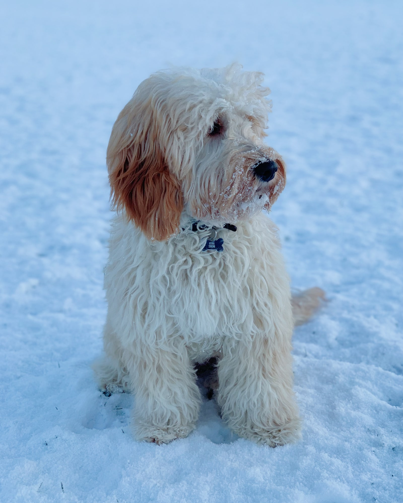 Apricot cockapoo on an early morning in the snow