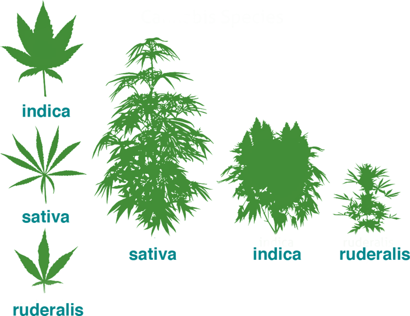 Three Types Of Cannabis Plants