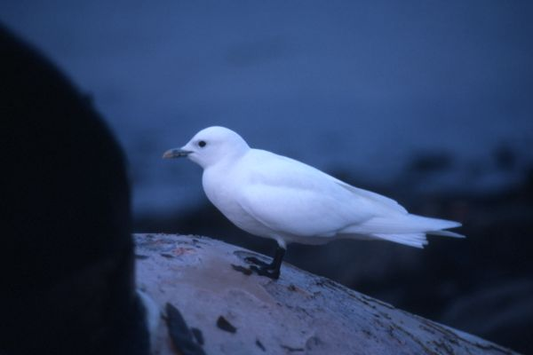 An Ivory Gull perched on a dead whale.