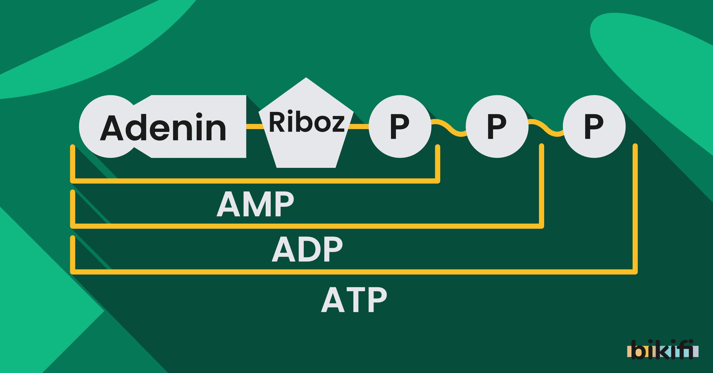 Canlıların Temel Bileşenleri: Nükleik Asitler ve ATP