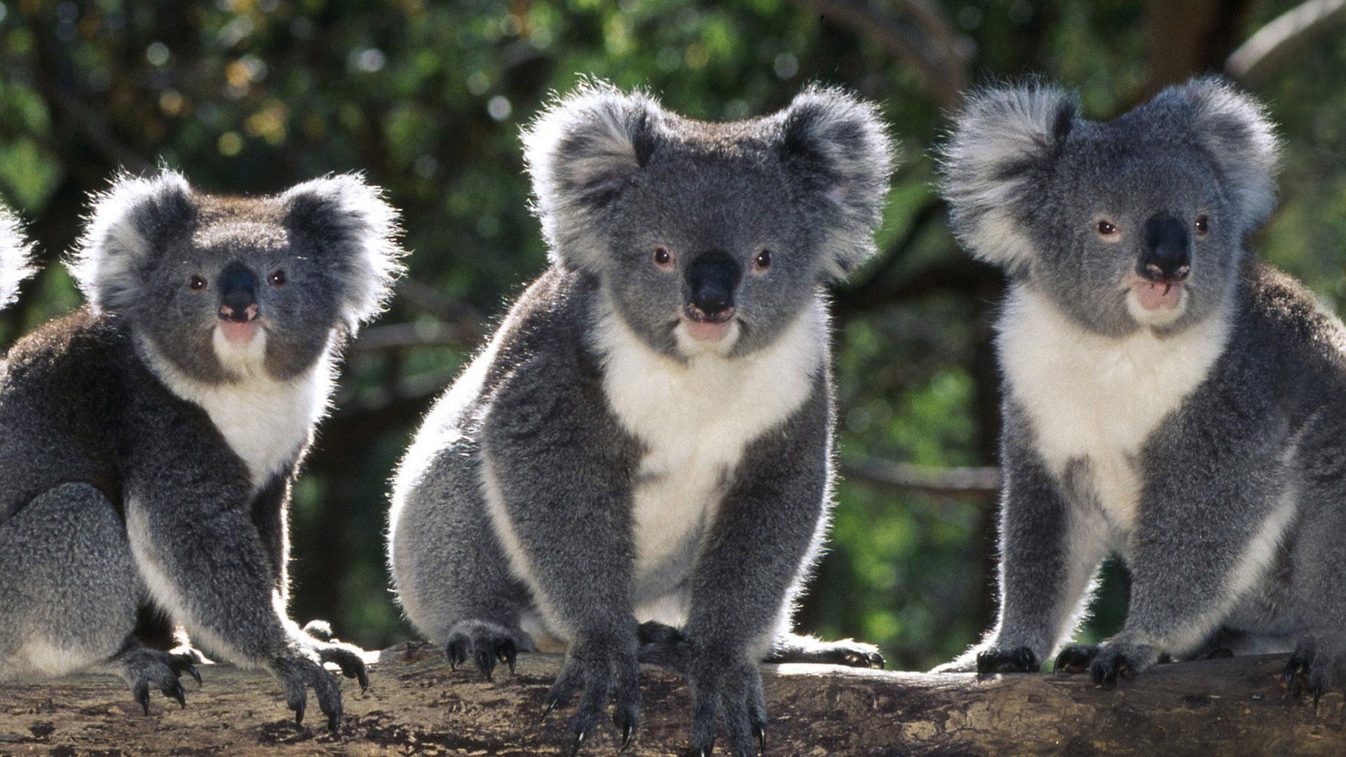 Three koalas in a tree.